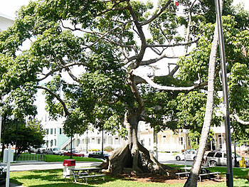 Kapok Tree | Key West